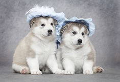Malamute puppies Royalty Free Stock Photography