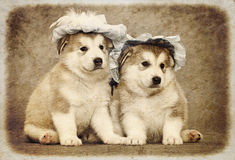 Malamute puppies Stock Photos