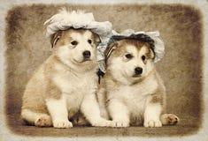 Malamute puppies Stock Photos