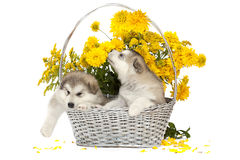 Malamute puppies in a flower basket Stock Photo