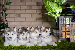 Malamute puppies lying on the green grass Royalty Free Stock Photo