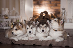 Malamute puppies lying on woolen plaid Stock Photography
