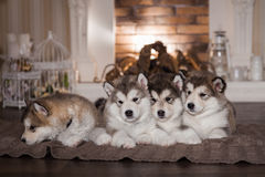 Malamute puppies lying on woolen plaid Stock Images