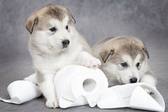 Malamute puppies play with toilet paper Stock Photo
