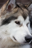 Malamute puppy Royalty Free Stock Photo