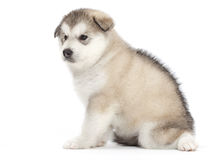 Malamute puppy Stock Photo