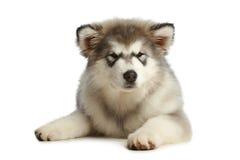 Malamute puppy (3 months) Stock Image