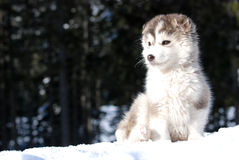 Malamute puppy Royalty Free Stock Images