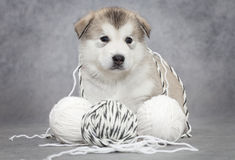 Malamute puppy with a ball of string Stock Photo