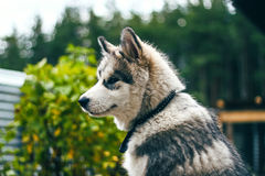 Malamute. Puppy sitting in the garden Royalty Free Stock Images
