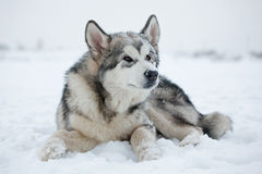 Malamute puppy in the snow Stock Photos