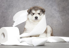 Malamute puppy with a tissue Stock Photography
