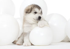 Malamute puppy with white balloons Stock Photos