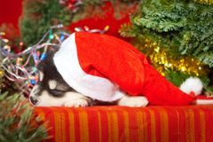 Puppy sitting on a red background in a Santa Claus hat royalty free stock images