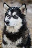 Malamute siberiano en invierno Imagen de archivo libre de regalías