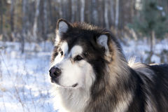 Malamute in the snow Stock Images