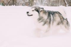 Malamute-Spelen het van Alaska Openlucht in Sneeuw, Wintertijd speels stock foto