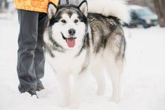 Malamute-Spelen het van Alaska Openlucht in Sneeuw, Wintertijd speels royalty-vrije stock foto