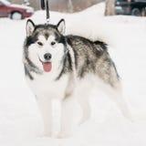 Malamute-Spelen het van Alaska Openlucht in Sneeuw, Wintertijd speels royalty-vrije stock fotografie