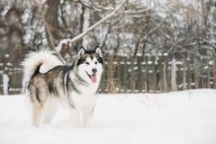 Malamute-Spelen het van Alaska Openlucht in Sneeuw, Wintertijd Speelse huisdieren royalty-vrije stock fotografie