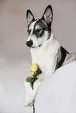 Malamute Trzyma kolor żółty róży Obrazy Royalty Free