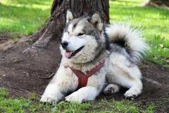Malamute - un perro septentrional grande miente en la hierba verde thoroug Fotos de archivo libres de regalías