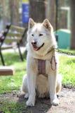 Malamute - un perro septentrional grande miente en la hierba verde thoroug Imagen de archivo