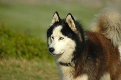 Malamute van Alaska royalty-vrije stock foto