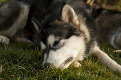 Malamute Van Alaska Royalty-vrije Stock Afbeeldingen