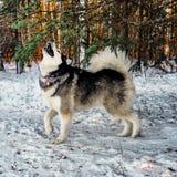 Malamute van Alaska Husky Dog Royalty-vrije Stock Foto's