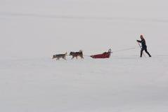 Malamute van Alaska met skiër Pulkadiscipline Stock Afbeeldingen