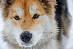 Malamute van Alaska is vrij een grote inheemse typehond, die wordt ontworpen om in een team, één van de oudste rassen van honden  royalty-vrije stock fotografie