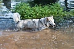Malamute van Alaska in water Stock Afbeelding