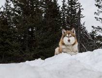 Malamute watching and waiting Stock Images