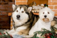 Malamute and west haigland white terrier Royalty Free Stock Photo