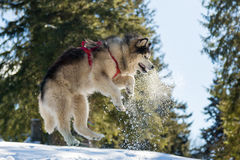 Malamute in winter mountains Stock Images
