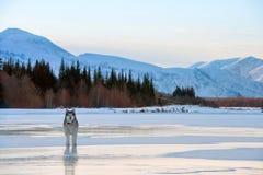 Malamutehund, der auf gefrorenen See geht Winterlandschaft mit schneebedeckten Bergen, Bäumen und dem gefrorenen See in Yakutia,  stockbild