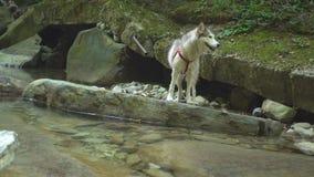 Malamutehund, der weg vom Wasser auf Bank von Gebirgsfluss im Dschungelnaturpark in den Bergen rüttelt Auf Steinen herüber wander stock footage