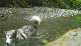 Malamutehund geht in das Wasser entlang der Unterseite von einem Gebirgsfluss im Dschungelnaturpark in den Bergen An wandern stock video footage