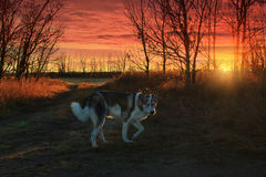Malamutehund i solnedgången Arkivbild
