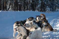 Malamutes e cão de puxar trenós Siberian, Yakutia foto de stock