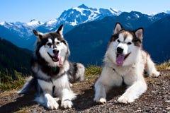 Malamutes van Alaska Stock Afbeeldingen