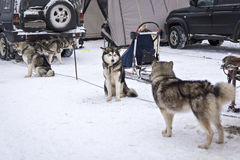 Malamutes waiting for dog race on stage of World Cup in Karelia Royalty Free Stock Photography
