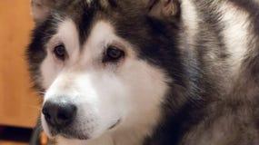 Malamuteschlittenhund Stockfotos