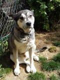 Malamuteschlittenhund Lizenzfreies Stockbild
