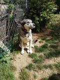 Malamuteschlittenhund Stockbilder