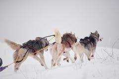 Malamuteschlittenhunderasse Stockfoto