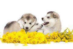 Malamutevalpar med gula blommor Royaltyfri Foto