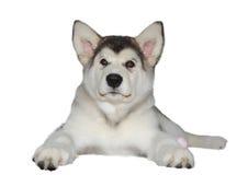 Malamutevalphund royaltyfri foto