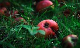 malande äpplen Fotografering för Bildbyråer